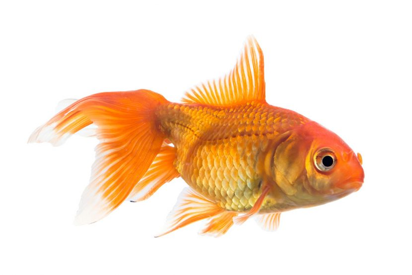 The attention span of a goldfish!